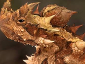 A picture of the the thorny devil
