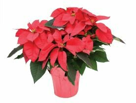Poinsettia Pick Up This Week