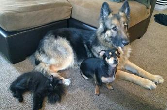 Dr. Isley's pets, Judah (big dog), Annie (little dog) and Beauregard (cat)