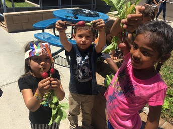 Ms. Plunkett's class harvests radishes from their garden.