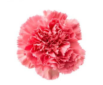Next to Dandelions, Cub Scout Pack 383 Carnations Are Every Mother's Favorite