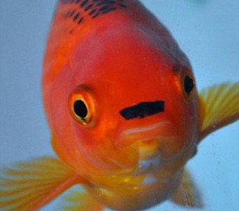 Goldfish named George gets life-saving tumor surgery