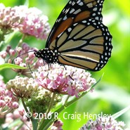 In the Field with Migrating Monarchs