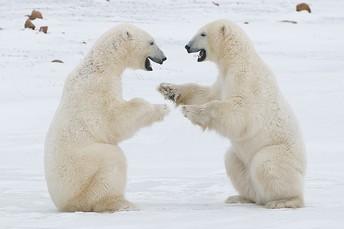 Polar Bear Recess - It May Be Time!