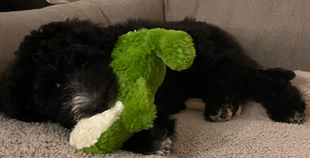 Introducing Mrs. Hutchins' new Sheepadoodle puppy, Willis!
