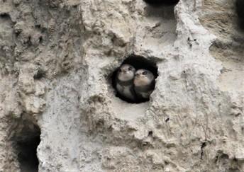 Bank Swallow Chicks