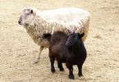 Sheep & Goat Tagging