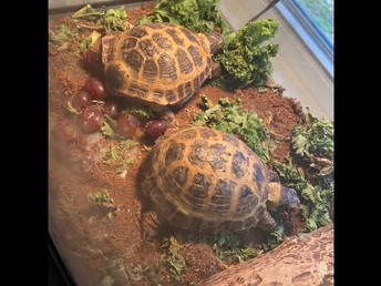 Torti and Stella, Russian Tortoises