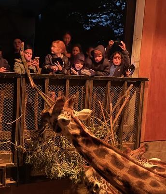 Feeding the Giraffe at night