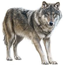 Spiritual Animal : This month is the Wolf