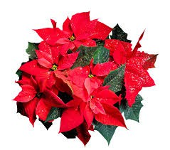 Emerson Musical Poinsettia Sale!