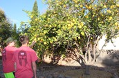 Lemon Tree at Pheonix House