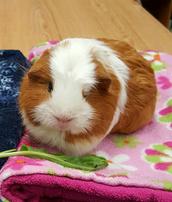RIP Ramona the Guinea Pig