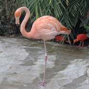 Virtual Zoology Lab: Flamingos