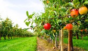 MSA Orchard Work Day