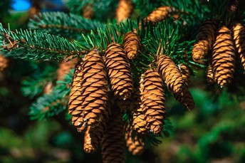 Christmas Trees: Conifer Biology and Ecology