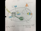 Dr. J charts how glucose is made (with color!)