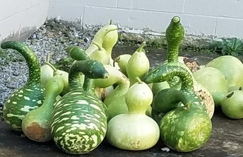 Birdhouse Gourds Last Fall