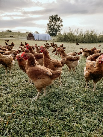 Old Cotton Hill Farms - Chicken