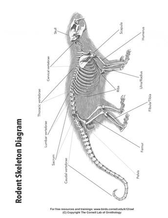 Bone ID Chart