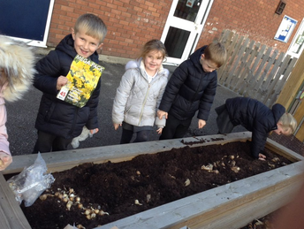 Year 1 daffodil bulb plating