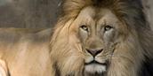 Lion Cam