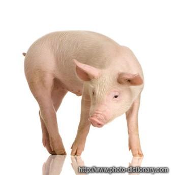 Do You Show Pigs?