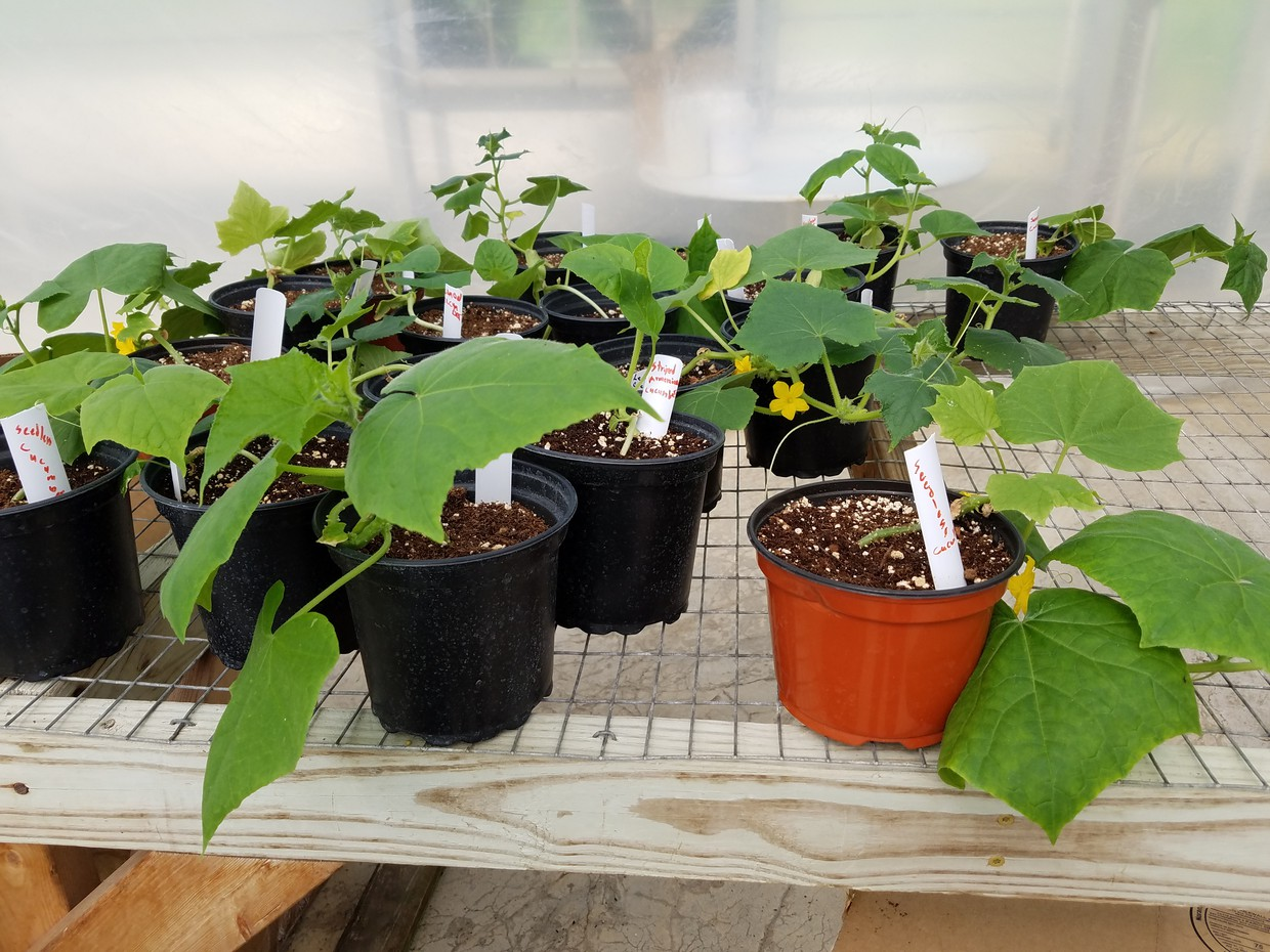 Cucumber plants waiting for the garden
