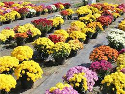 Annual Mum Sale to Support Elida Bands