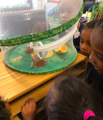 What happens after the chrysalis?
