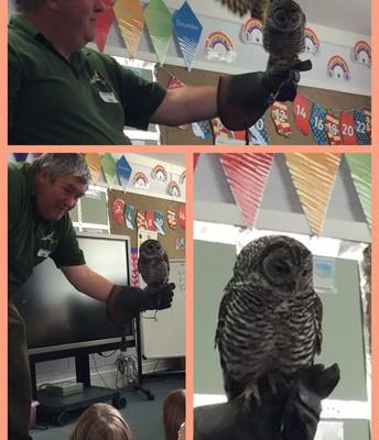 Darwin the Chaco Owl