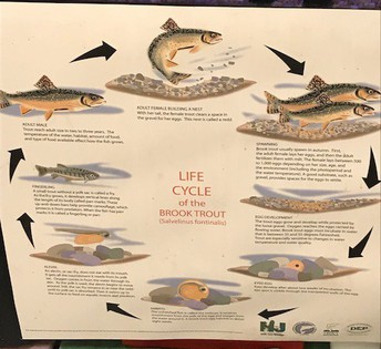 This chart shows the life cycle of the trout.