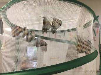 Monarch butterflies!