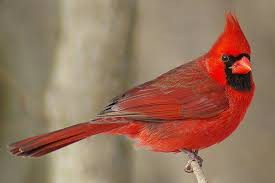 Cardinal Sightings
