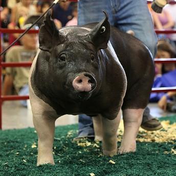 Swine Showmanship Workshop