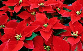 Wreath and Poinsettia Pick Up