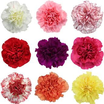 Carnation Flower Sale  for Valentines Day!