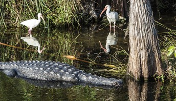 Endangered Species in the Everglades by Nicolas, Matthew, Tomas, and Kyler