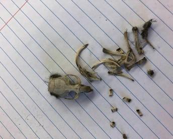 Exploring the Contents of Owl Pellets