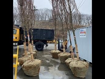 Trees awaiting planting