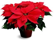 Poinsettia pick up is today!