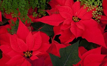 11/8 Holiday Poinsettia Sale to benefit Fife Scholarship Foundation!