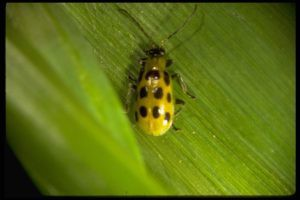 Southern Corn Rootworm/ Cucumber Beetle
