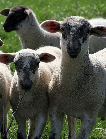 Worms in German Lambs