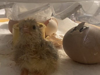 Photo of newly hatched chick in incubator.