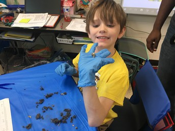 Owl Pellet Dissection in Mrs. Cressey's Class
