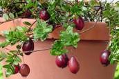 Ben Lear Cranberry