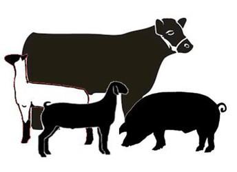 Livestock Judging Practice