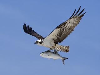 Osprey's in Bayport!