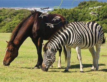Why Do Zebras Have Stripes?  How scientists used the scientific process to solve one of nature's mysteries